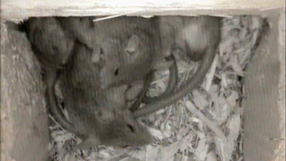 Cute Baby Rats Sleeping in an Owl Nest Box