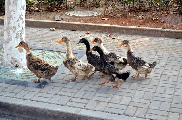Bebek, Kerjaannya Ikut-Ikutan Melulu, Tahu-Tahu Mati Dipotong