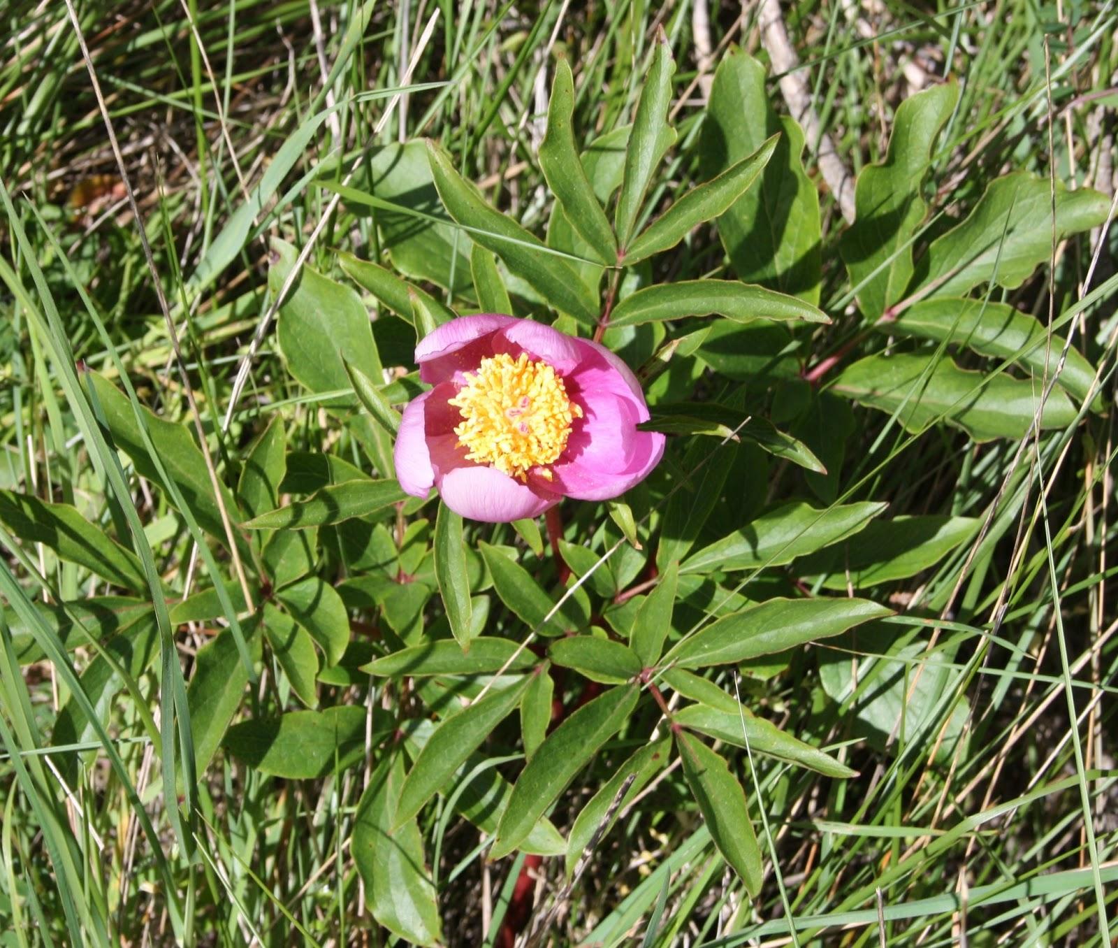 Plantas beleza e diversidade rosa albardeira paeonia for Pianta rosa