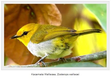 Dunia Burung Jenis Jenis Burung Pleci