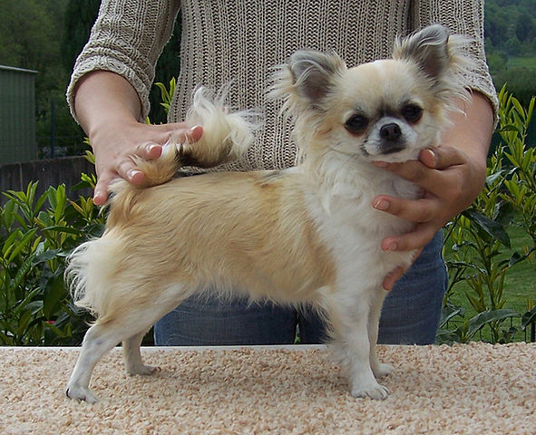 Most Beautiful Mixed Breed Dogs: Top 7 Long Haired Chihuahua