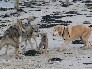 Canens Africae chiens-loups de Saarloos