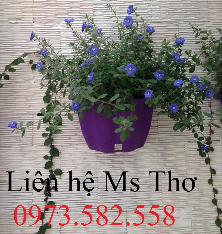Chậu hoa ốp tường màu tím