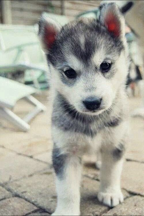 Pomsky Puppies What Are