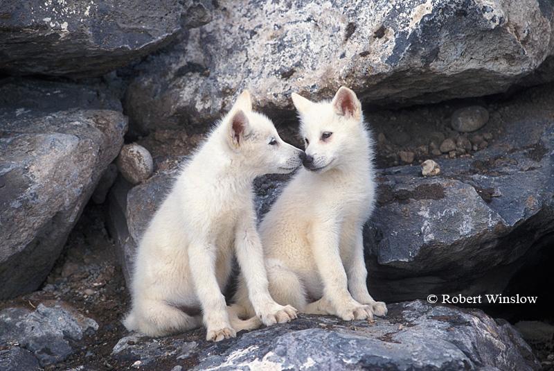 White Wolf : Robert Winslow - Phenomenal Nature ... - photo#21