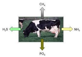 Nguồn gốc chất thải từ chăn nuôi bò.