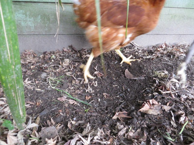 Chicken feet on soil