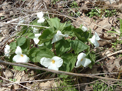 [Photo: clump of Trillium grandiflorum in High Park.