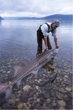 almost-extinct-animals-white-sturgeon