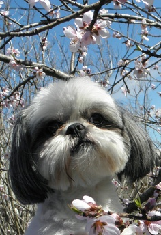 Health Problems in Shih Tzu Dogs