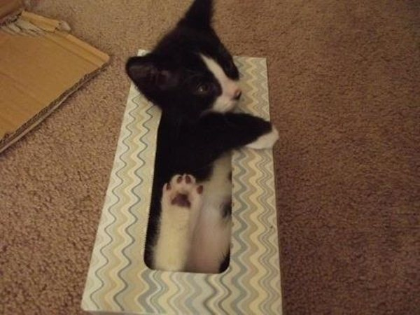 kitten in tissue box, funny cats, cat photos, cat pictures
