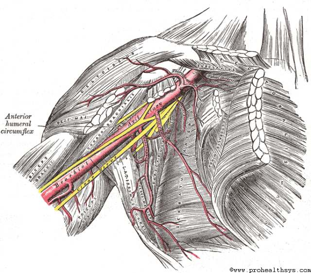 Professional Health Systems The Axillary Artery Its Branches And