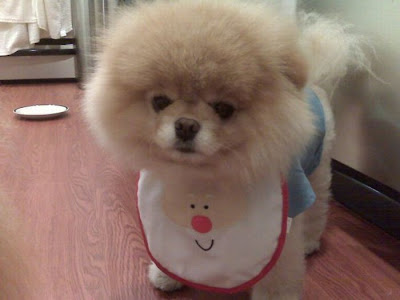 Meet Boo the Cutest Pomeranian Dog Seen On  www.coolpicturegallery.us