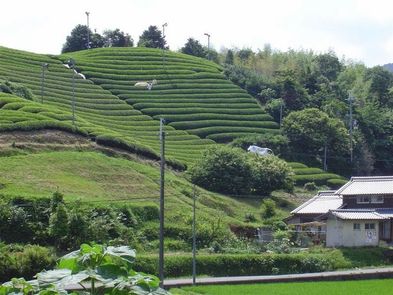 Wazuka Green Tea Farms, Japan