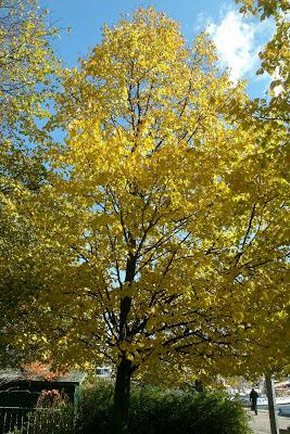 autumn_littleleaf_linden_tilia_cordata_by_garden_muses:_a_Toronto_gardening_blog