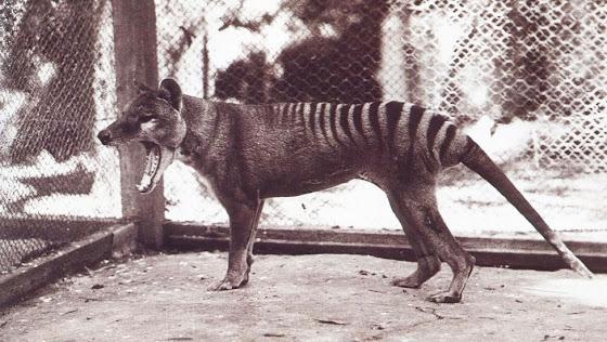Βρετανοί κρυπτοζωολόγοι υποστηρίζουν ότι βρήκαν τη σπάνια τίγρη της Τασμανίας που εξαφανίστηκε πριν 80 χρόνια