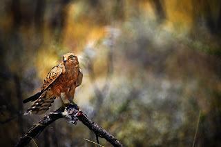 Bird Predator Prey Falcon Hawk HD Wallpaper