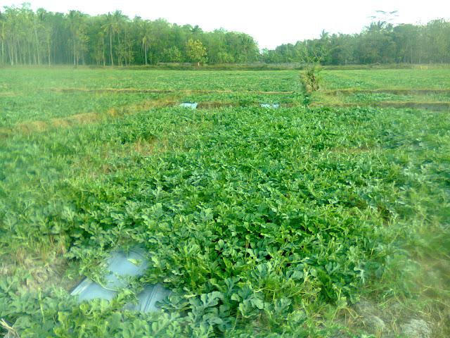 Perkebunan Semangka Berhektar-hektar Di Lahan Persawahan