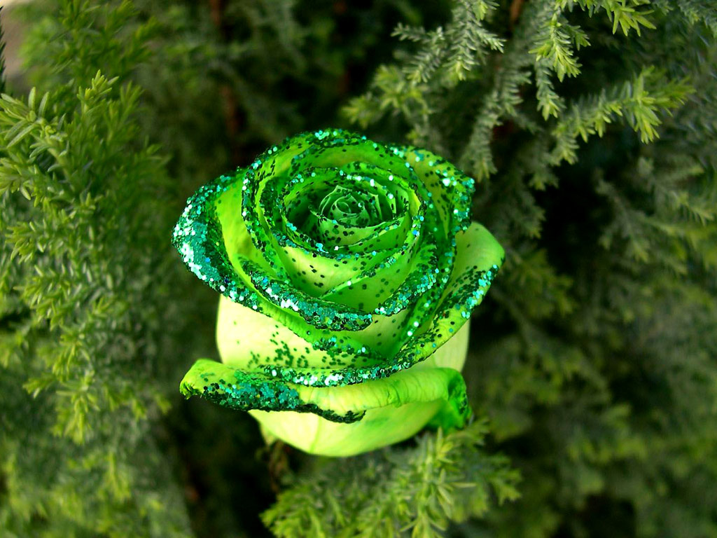 Green Rose HD Wallpaper Download Free