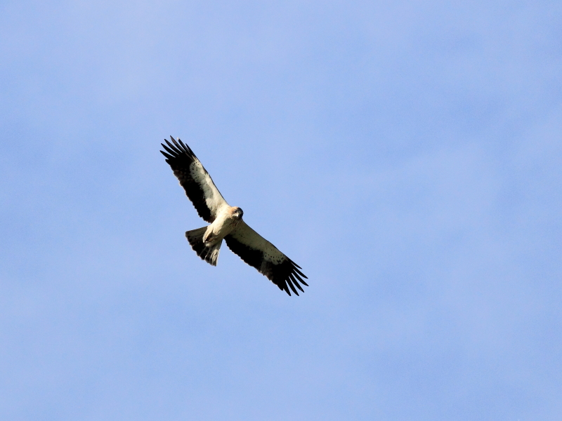 Booted Eagle photography