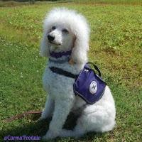 Carma Poodale Service dog