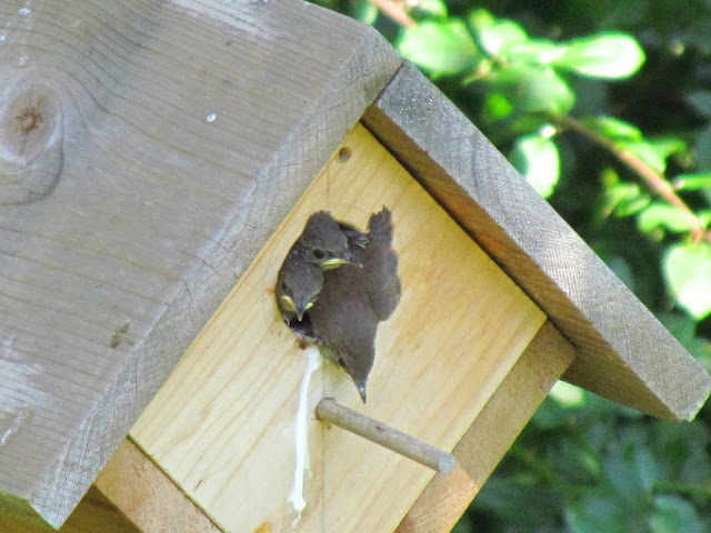 house wren gets a wing out