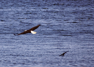 bald eagle and crow over water