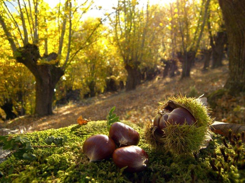 Manual de cultivo de castiñeiros