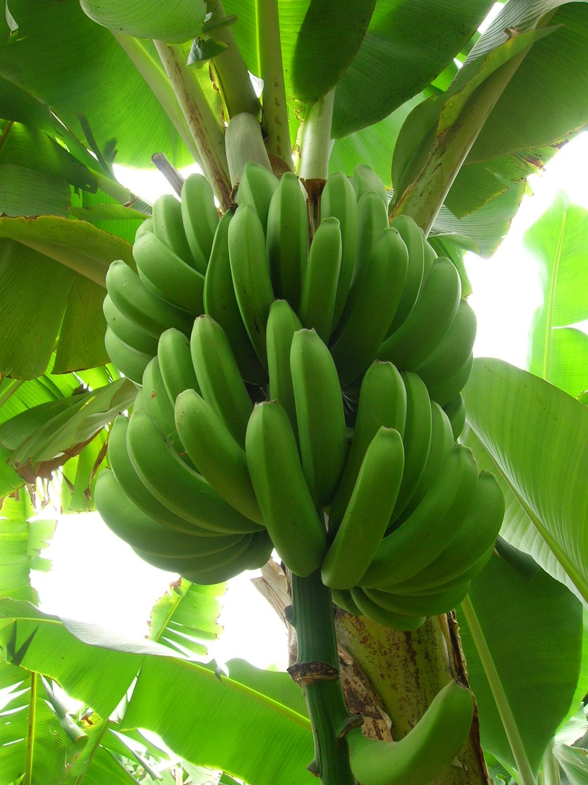 Pl Tano Agropecuaria Dominicana # Muebles Hoja De Banano