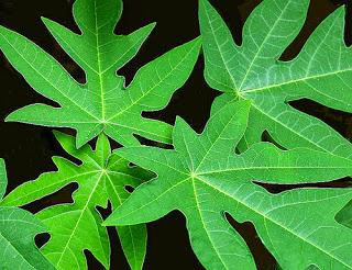 Manfaat daun pepaya untuk kesahatan