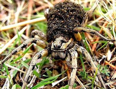 Araña con crias en el cuerpo