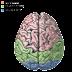 Jak zbudowany jest ludzki mózg?