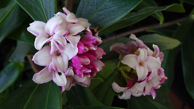 Daphne Flower Photo
