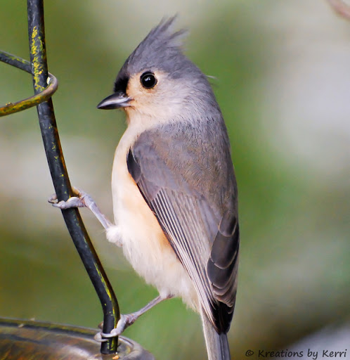 Tufted Titmouse Posing for Me