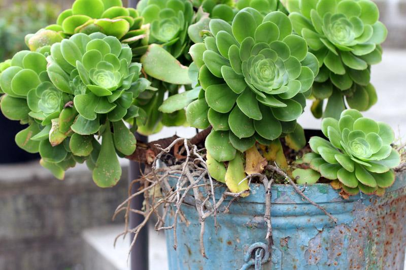 pot plante grasse
