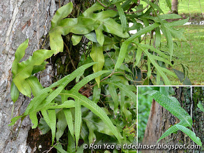 Paku Wanggi (Phymatosorus scolopendria)