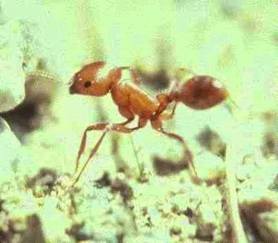 semut paling beracun didunia