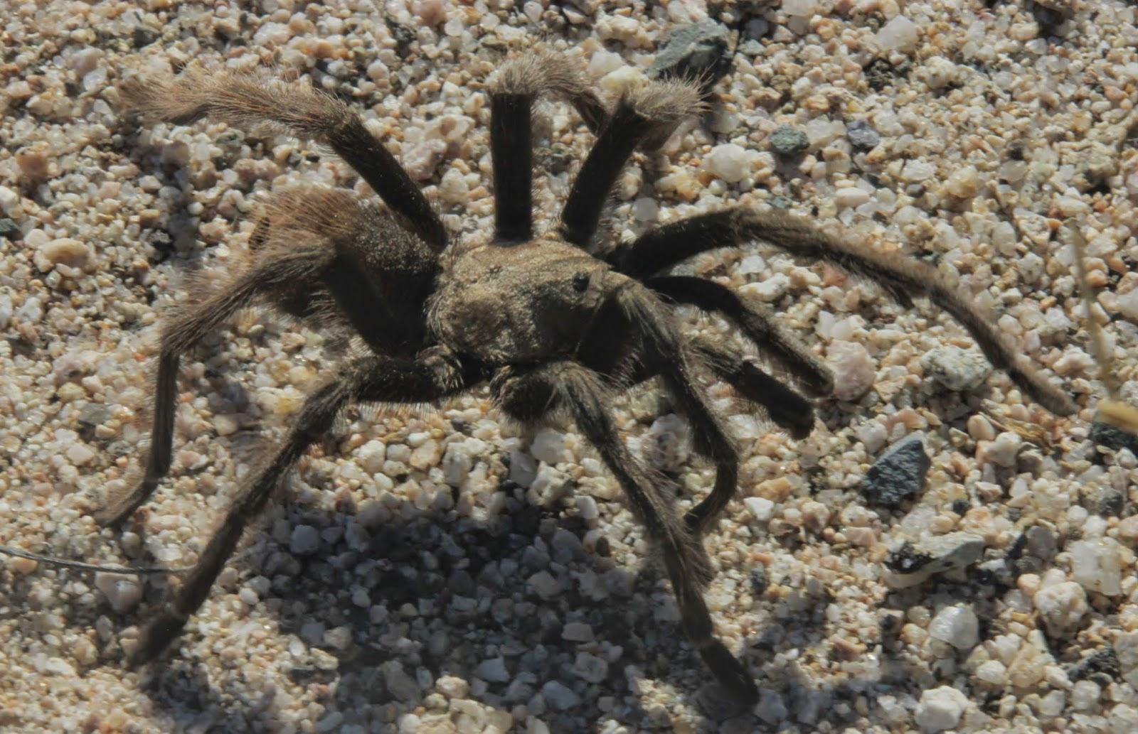 Tarantula, Mojave National Preserve
