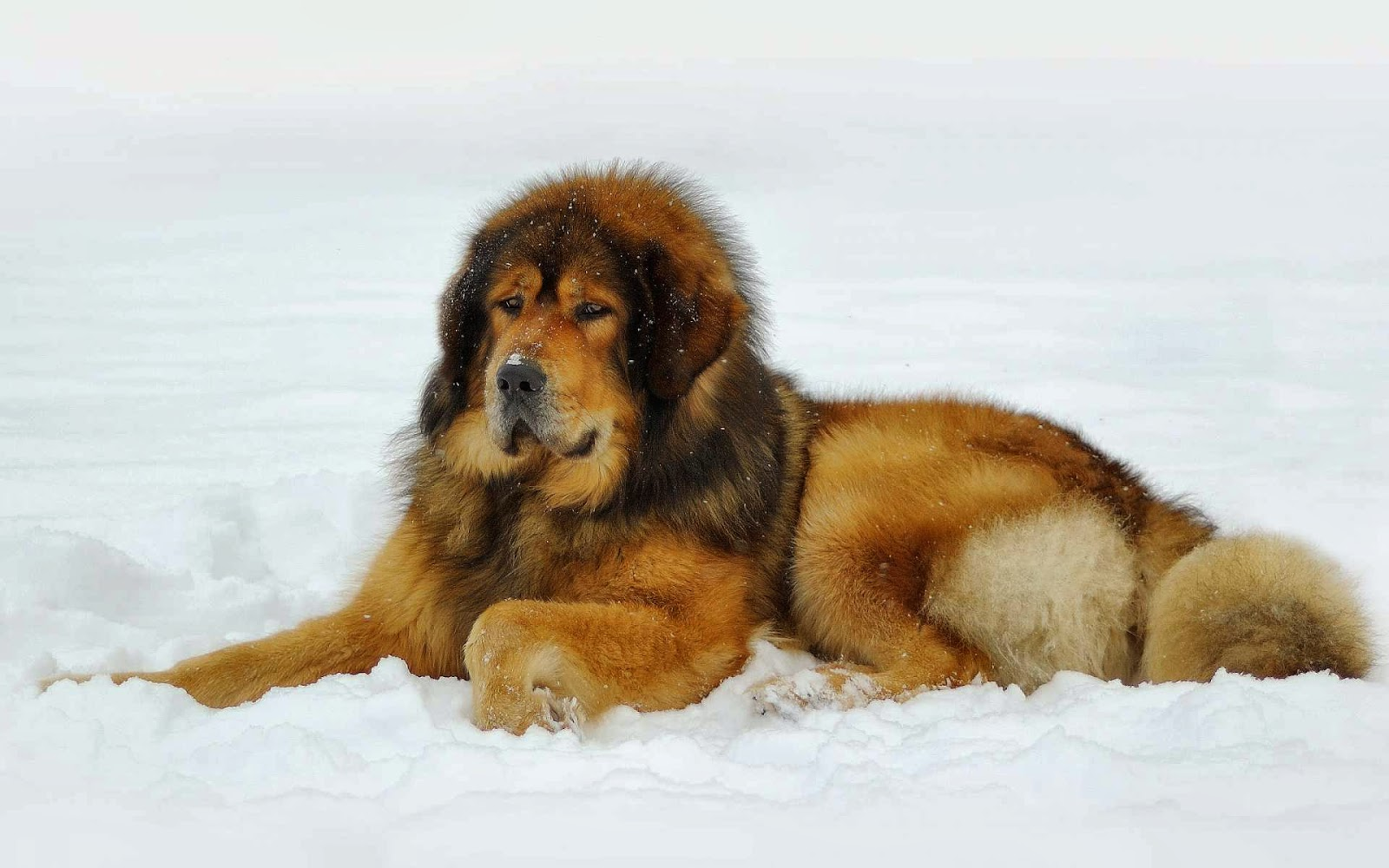 Most Expensive Dog For Sale