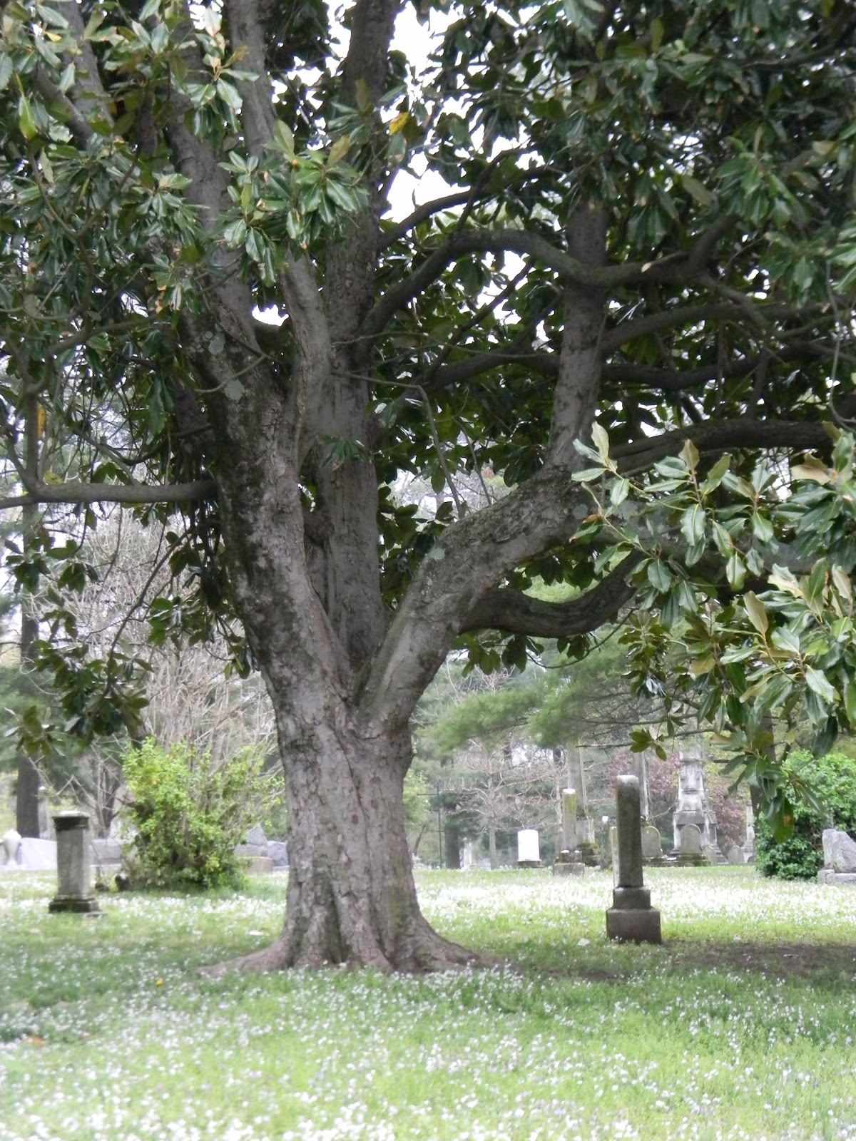 A grave interest arbor day and those trees in the cemetery this is a southern magnolia magnolia grandiflora a broadleaf evergreen tree quite common in kentucky and southern indiana buycottarizona Images