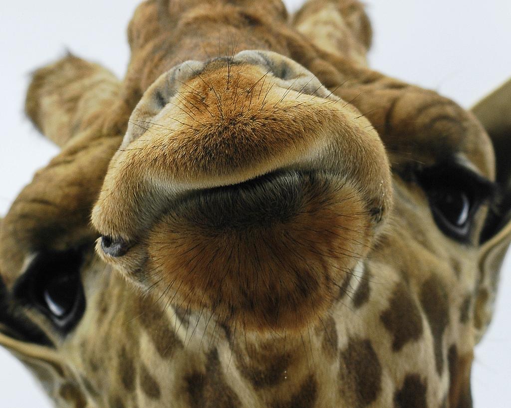 Giraffe dog - photo#23