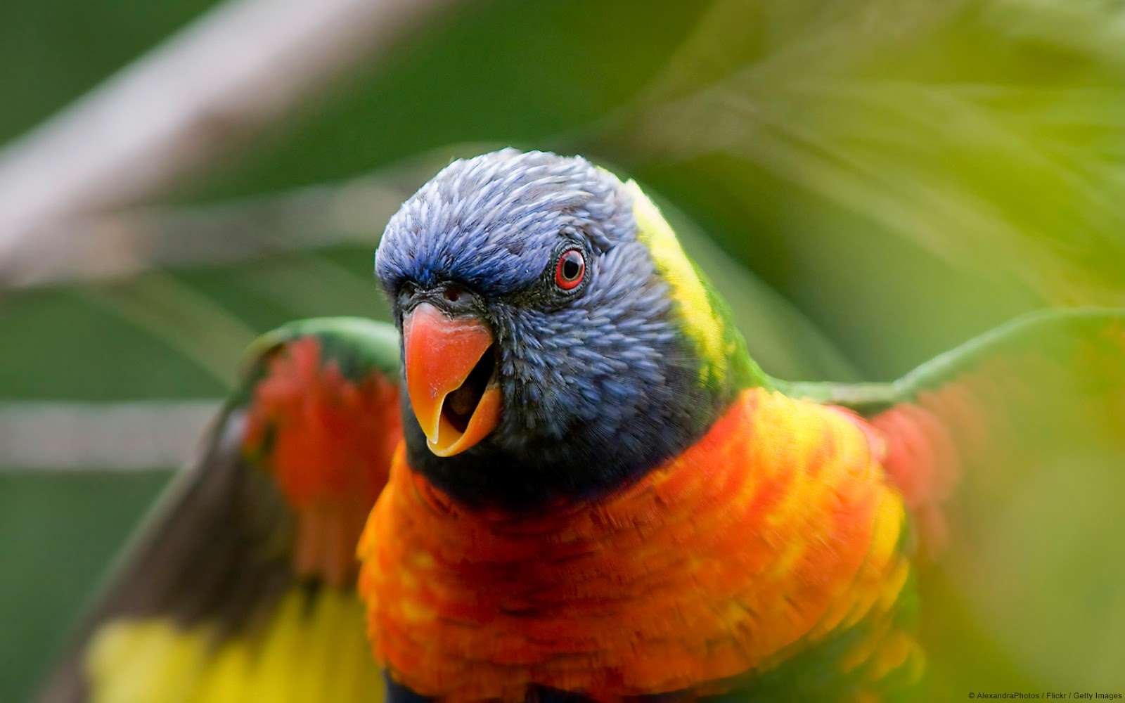 Rainbow lorikeet parrot new wallpapers hd 2012 for Rainbow parrot fish