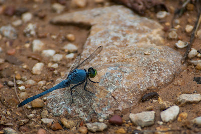 Great Blue Skimmer, Fort Worth Nature Center