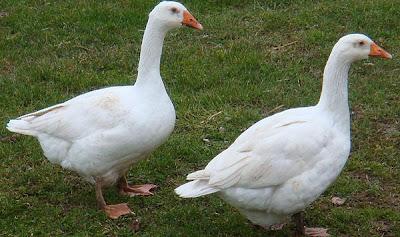 Los gansos de la granja