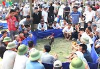 sabung ayam saigon vietnam di acara festival
