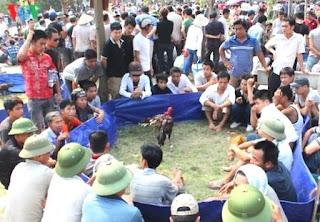 Gambar sabung ayam saigon vietnam di acara festival