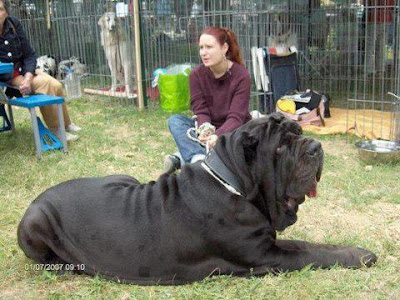The Neapolitan Mastiff or Italian Mastiff, is a large, ancient dog ...