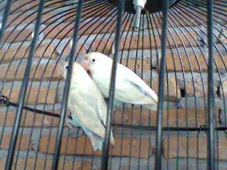 Love Bird Pastel Putih Pasangan Remaja, Jual Burung Love Bird Pastel Putih, love bird burung cinta pastel putih, Pusat Love Bird