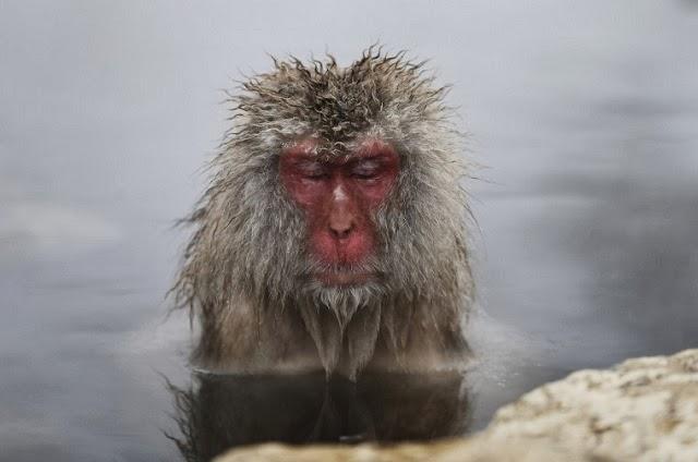 """Baños Termales Japoneses:Los macacos japoneses, también conocidos como """" monos de nieve"""
