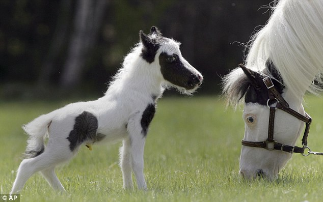 The smallest horse in the world ever - photo#10